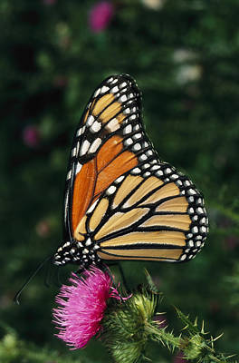 A Monarch Butterfly Sits On A Thistle Poster by George Grall