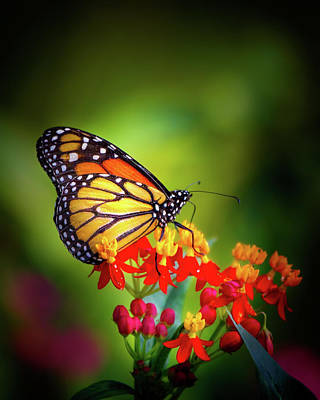 A Monarch In The Garden Poster by Mark Andrew Thomas