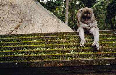 A Monkey Sits Contemplatively Poster