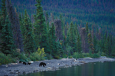 A Mother Black Bear And Her Triplets Poster