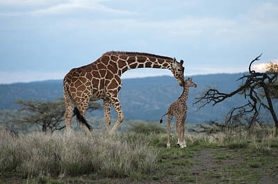 A Mother Giraffe Nuzzles Her Baby Poster