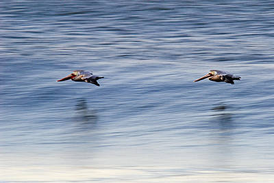 A Pair Of Brown Pelicans Flying Poster by Rich Reid