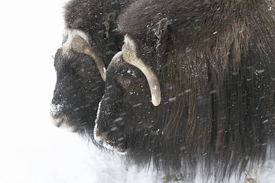 A Pair Of Captive Muskox Cows Stand Poster by Doug Lindstrand