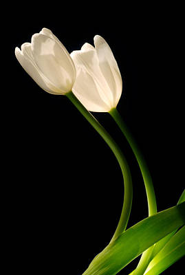 A Pair Of White Tulips Poster
