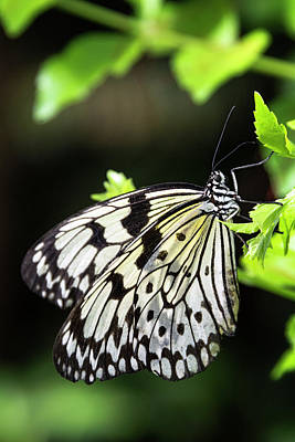 Poster featuring the photograph A Paper Kite Butterfly On A Leaf  by Saija Lehtonen
