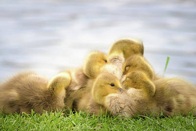 A Pile Of Goslings Poster