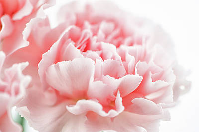 A Pink Carnation Poster