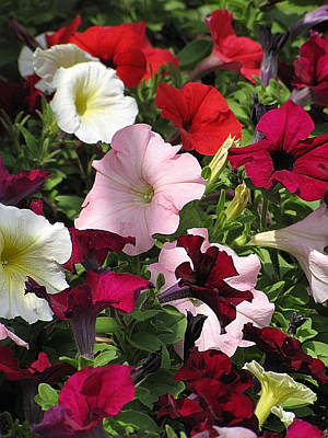 A Plethora Of Petunias Poster