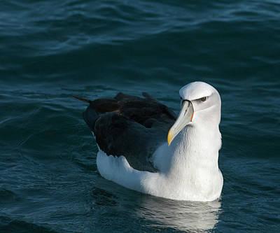 A Portrait Of An Albatross Poster