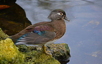 A Pretty Female Painted Wood Duck Poster by Judy Wanamaker