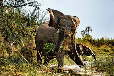 A Protective Mama Elephant With Calf  Poster