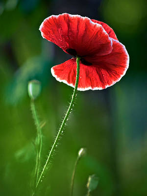 A Red And White Poppy Flower Poster by R Morrison