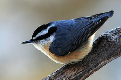 A Red-breasted Nuthatch Poster by Mike Martin