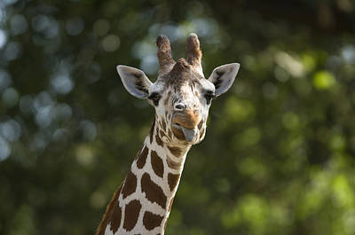 A Reticulated Giraffe Sticks Its Tongue Poster