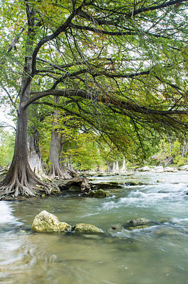 A River Under Bald Cypress Trees Poster by Ellie Teramoto
