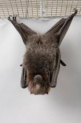 A Rodrigues Fruit Bat Pteropus Poster by Joel Sartore