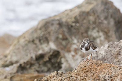 A Ruddy Turnstone Perched On The Rocks Poster
