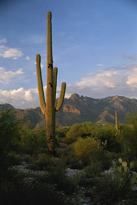 A Saguaro Cactus In The Sonoran Desert Poster by Todd Gipstein