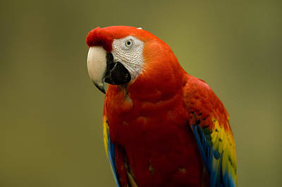 A Scarlet Macaw Ara Macao Poster