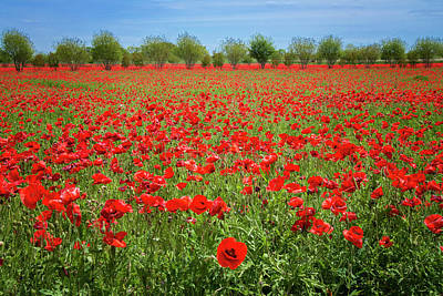 A Sea Of Texas Red Corn Poppies Poster by Lynn Bauer