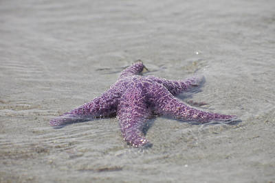 A Sea Star Lies In The Surf In The Gulf Poster by Taylor S. Kennedy