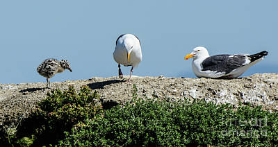 A Seagull Chick With Mom And Dad Poster