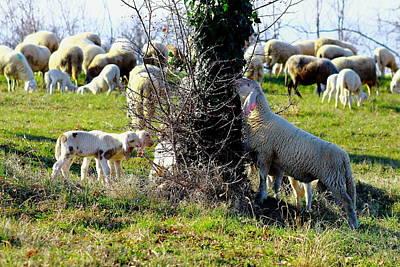 A Sheep And A Lamb Eating Poster by Samantha Mattiello