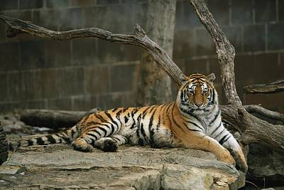 A Siberian Tiger Rests In Her Outdoor Poster