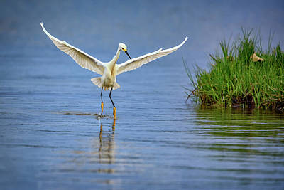 A Snowy Egret Dip-fishing Poster