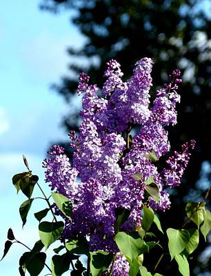 A Stunning Lilac Cluster Poster