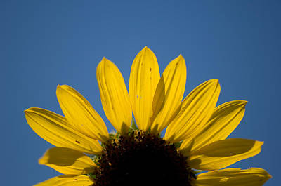 A Sunflower In Eastern Montana Poster