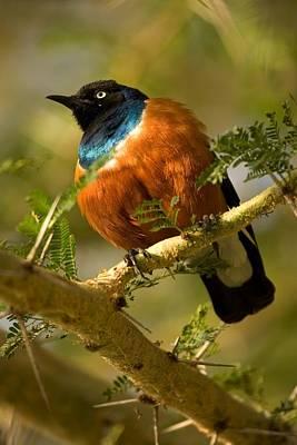 A Superb Starling Perched On An Acacia Poster by Roy Toft