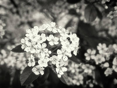 A Thousand Blossoms In Sepia 3x4 Flipped Poster