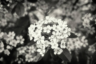 A Thousand Blossoms Sepia 3x2 Poster