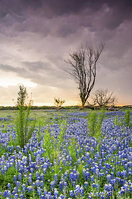 A Tree Of Wildflower Field Under Stormy Clouds - Texas Poster