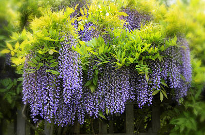 A Wealth Of Wisteria Poster by Jessica Jenney