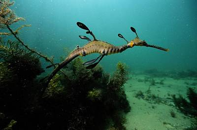 A Weedy Sea Dragon, Perhaps Poster by George Grall