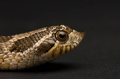 A Western Hognosed Snake Heterodon Poster by Joel Sartore