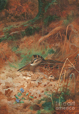 A Woodcock And Chick In Undergrowth Poster by Archibald Thorburn