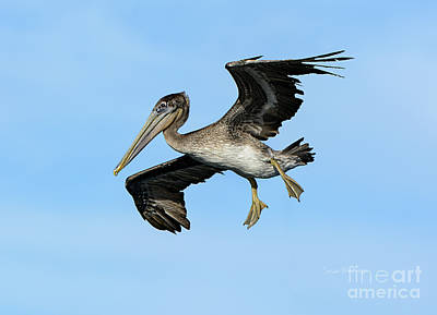 A Young Brown Pelican Flying Poster