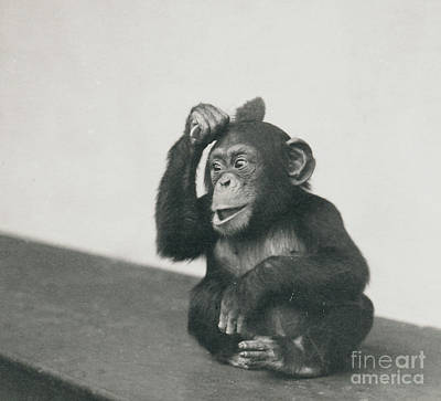 A Young Chimpanzee Playing With A Brush Poster