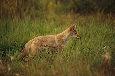 A Young Coyote Poster by Raymond Gehman