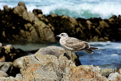 Poster featuring the photograph A Young Western Gull At Pacific Grove by Susan Wiedmann