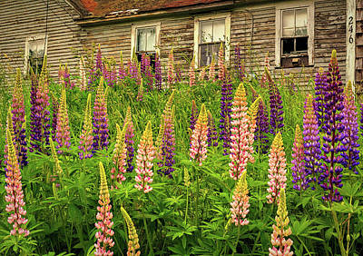 Abandoned Maine Farm Lupines Poster