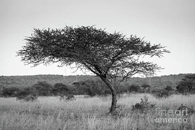 Acacia Tree Africa Black And White Poster