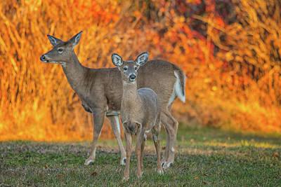 Acadia Deer Poster by Darren White
