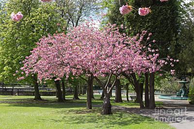 Accolade Cherry Tree Poster