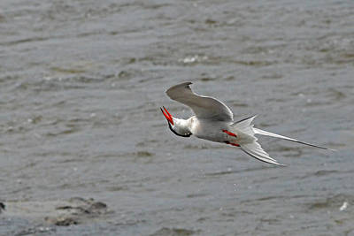 Acrobatics Of The Common Tern Poster by Asbed Iskedjian