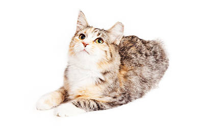 Adorable Calico Kitty Looking Up Poster by Susan Schmitz