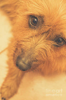 Adorable Small Pet Dog In Tones Of Red Poster